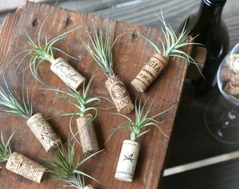 25 Tillandsia Air Plant Cork Magnets for Wedding and Party Favors