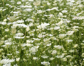 """Queen Anne's Lace Field Flower Print 9"""" X 12"""" Fine Art Photography, Wildflower, Country Field of Flowers"""