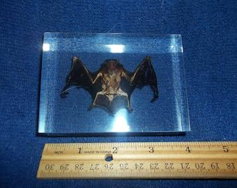 REAL Bat Otomops Formosus Paperweight animal weird rodent bird taxidermy cave vampire part