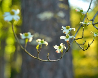 Early morning light photography of a flowering dogwood.