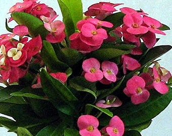"Pink Crown of Thorns Plant - Euphorbia - 6"" Pot"