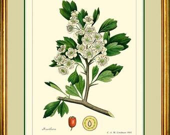 HAWTHORN - Vintage Botanical 11x14 or 12x16 print reproduction   286