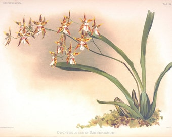 Odontoglossum Sanderianum Victorian orchid print botanical illustration reproduction from Reichenbachia