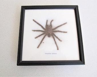 Eurypeima Spinicrus Tarantula Taxidermy Framed Real Spider Vintage