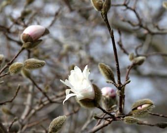 Magnolia Flower Art Print, Nature Photography Gray Pink Tree Spring Decor Zen Wall Art Wall Decor Woodland Mothers Day