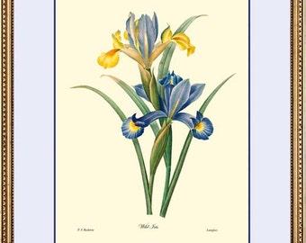 WILD IRIS Antique Redoute Botanical print reproduction