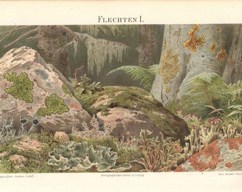 """Original lithographic print 1894, colored antiquarian wall chart, Illustration """"lichen"""" , antique lithography"""