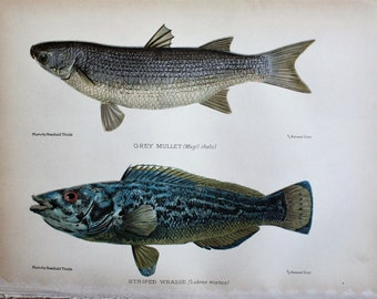 antique print grey mullet and striped wrasse 1904