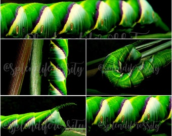 Tobacco Worm Photography Prints
