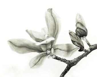 Magnoia blossoms, Monochrome aquarelle painting, fine art print