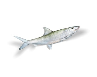 Bonefish Decal, Bonefish Sticker, Bonefish