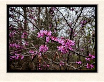 First Blooms - Fine Art Print
