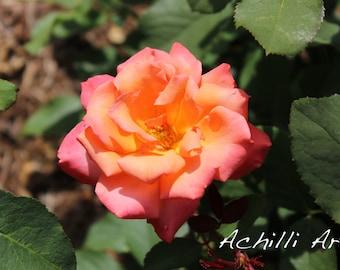 Orange and Pink Rose- Elizabeth Park- Original Photograph