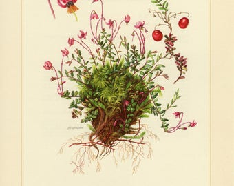 Vintage lithograph of cranberry from 1958