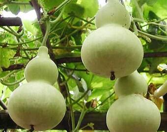 5 Big Spoon Bottle Gourd Seeds Lagenaria Siceraria Organic Vegetable TG1