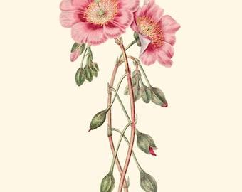 Vintage Pink Flower Print 8x10 P241