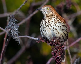 Brown Thrasher Photo Print, Large Art Print Nature Photography, Affordable Wall Art