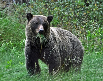 Even Grizzlies eat their greens