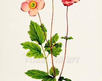 Windflowers Art Print, Botanical Art Print, Flower Wall Art, Flower Print, Pink Flower Art Print, Home Decor