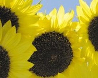 Lemon Yellow Sunflower 20 seeds annual univalved many-headed ornamrntal garden flowers bonsai