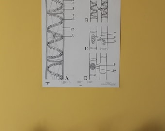 Vintage Spirogyra classroom chart from Turtox