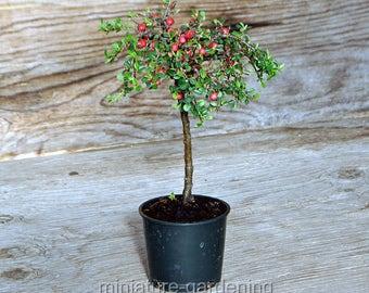 Cotoneaster dammeri, Streibs Findling, Standard, for Miniature Garden, Fairy Garden