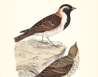 Antique Lapland Bunting Bird Print . original hand coloured woodblock dated 1893 . old vintage art plate
