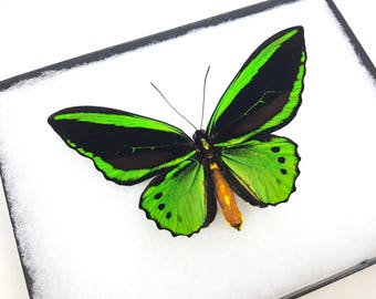 FREE SHIPPING Real Ornithoptera Priamus Poseidon Common Green Birdwing Butterfly Taxidermy High Quality A1- Riker Mount