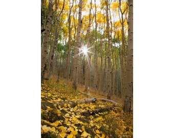 Photograph of an Aspen Forest in Northern Arizona, printed on metal and ready to hang