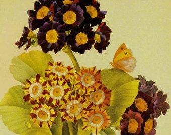 Garden Auricula Primrose Primula pubescens Vintage Illustration  Wildflowers Redoute Print To Frame 74