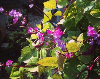Hyacinth Bean Vine,  Purple Hyacinth Bean Seeds, 15 Lablab purpureus Seeds, Flowering Vine Great for Hummingbird Gardens