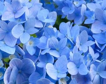 A beautiful blue hydrangea.