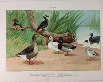Ducks - Original 1902 Dated Stone Chromo-Lithograph by Julius Bien. Antique