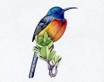 NEW PRINT! Orange-Breasted Sunbird, Bird, Print of Original Watercolor Painting