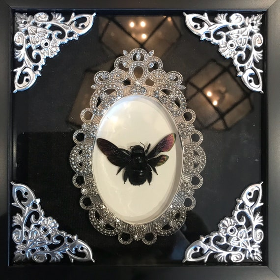 Black carpenter bee taxidermy display!