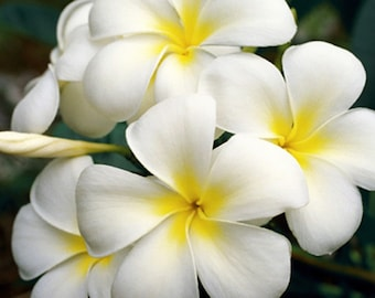 White Plumeria Fine Art Photo Greeting Card - Frangipani Flower Note Card Blank Inside Nature Photography White Hawaiian Flower Photography