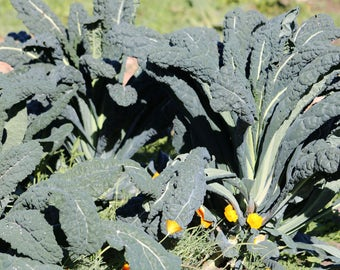 Dinosaur Kale vegetable seeds,kale seeds , no pesticides and organically grown seed, hand harvested, grown in the USA