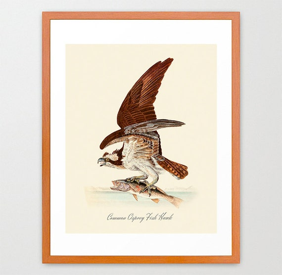 Hawk Art Print- Audubon Bird Print - Ornithological Art Print - Antique Bird - Audubon Art - John James Audubon Art Print