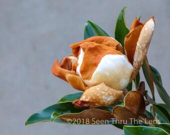 Magnolia Flower - Photographic Print