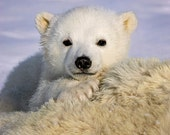 BABY POLAR BEAR Photo Pri...