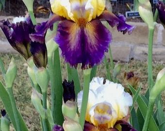 TRUMPED - 2008 Tall Bearded Iris -  A unique and photogenic award winner