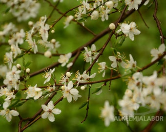 Spring - fine art photography, instant download printable art, wall art, home decor, nature, blossom, office decor