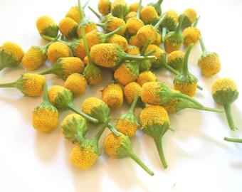 50 LEMON DROP Acmella Oleracea Buzz FlowersYellow Tangy Unique Foodie Food Salad conversation Piece