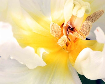 Tulip, white flower, spring, abstract, macro photography, inspirational, yellow