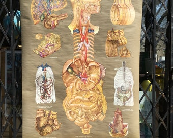 Vintage Frohse Anatomical Classroom Chart of the digestive System