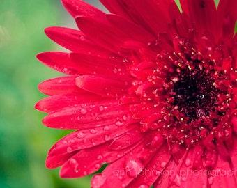 flower photography, red gerber daisy, nature photo, flower art,  red decor,  wall art,  raindrops,  macro