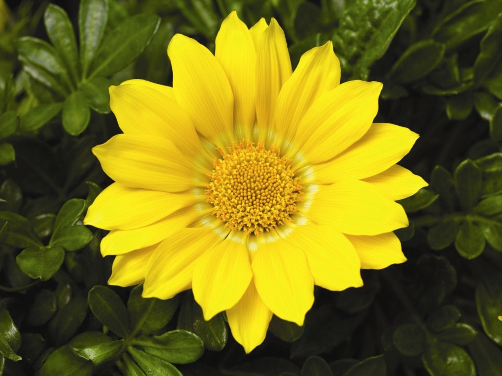 Gazania Seeds Gazoo Clear Yellow Brilliant 3 Inchyellow