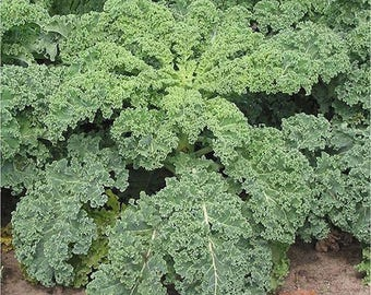 Dwarf Blue Curled Kale Seeds Non GMO
