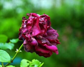 Burgundy rose photography