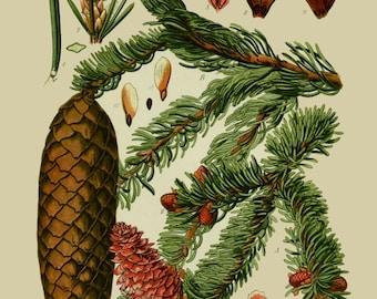 Téléchargement numérique illustration épicéa d'arbre à feuilles persistantes impression botanique antique